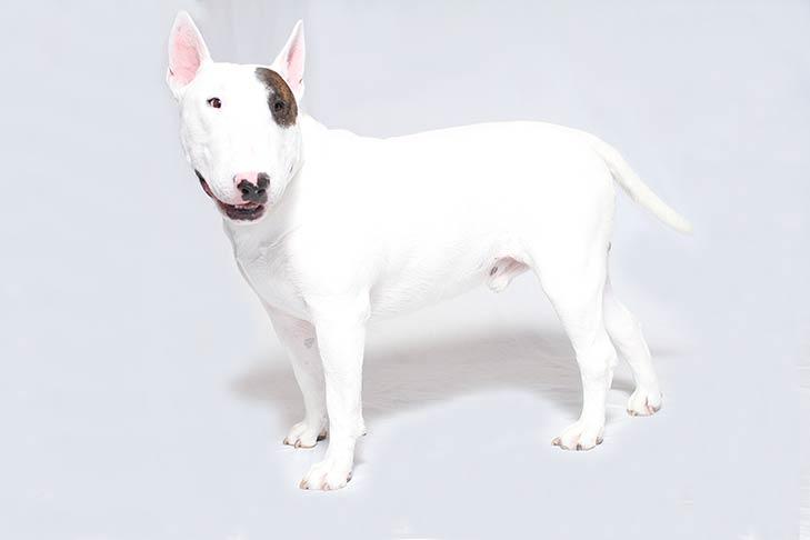 Bull-Terrier-On-White-03