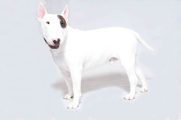 Bull-Terrier-On-White-03