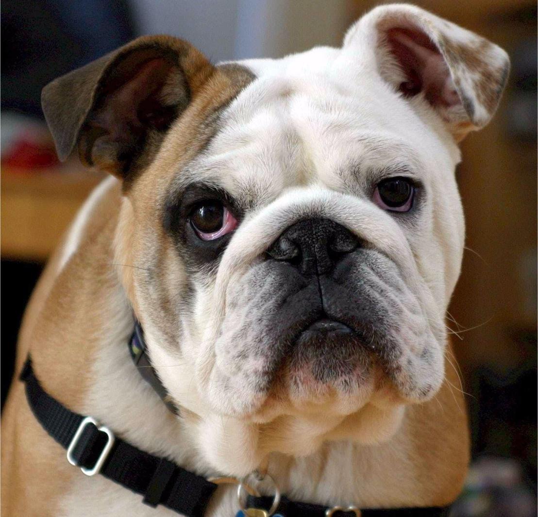 english-bulldog-bulldog-canine-dog-40544.jpeg