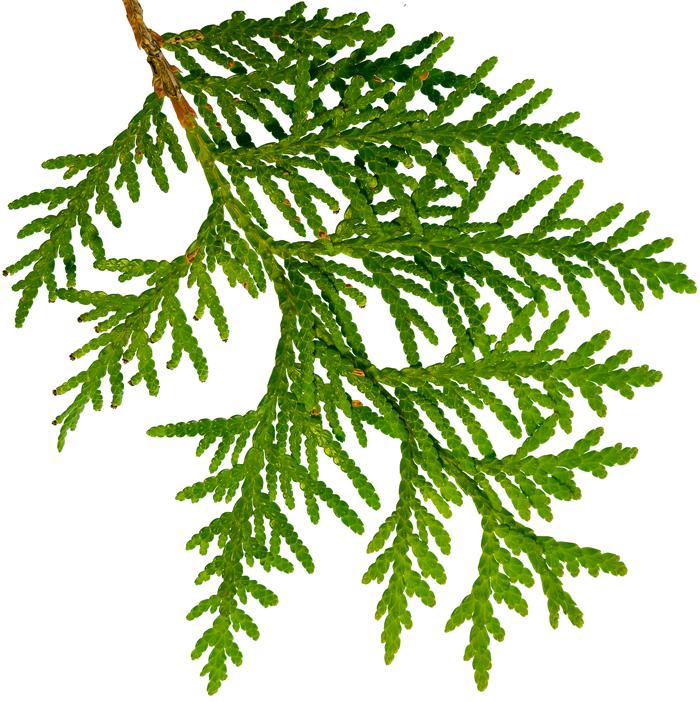 cedar-branch.png