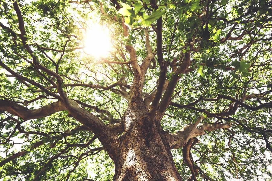Sycamore-tree-900.jpg